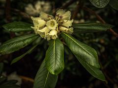 Rhododendron-8 (olipennell) Tags: blte botanischergarten mnchen nymphenburg pflanze rhododendron