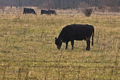 0441BCb (preacher43) Tags: county rural illinois cattle angus bureau farm pasture fields