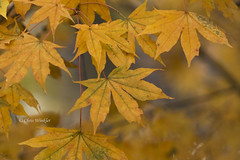 Yellow Autumn  (Alpha 2008) Tags: autumn fall leaves japan landscape sony autumnleaves   alpha   yamanashi yatsugatake  hokuto     mirrorless   sonyfe70200mmf4g