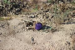 Alcachofa del Prat en flor (maikrofunky) Tags: 35mm canon bokeh violet dry mmmm artichoke violeta tierra cultivo elprat elpratdellobregat alcachofa notreatment 600d noefect artichokeflower tierraseca alcachofaenflor