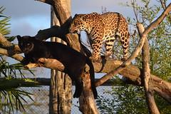DSC_3283 - Jaguars 'Goshi' & 'Napo' (102er) Tags: uk cats nature animal animals fauna zoo big nikon wildlife chester jaguar tamron napo 70300 goshi d3100
