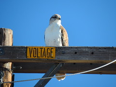 Ferruginous Hawk on Power Pole (California Winter Rangelands)