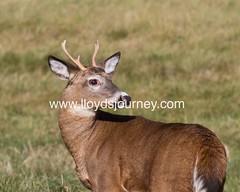 IMG_6383 (lloydsjourney) Tags: wild animal wildlife maine young deer rack lloyd alexander buck antler lloydalexander