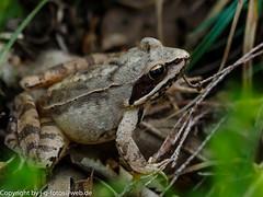 Iberian Frog (xrxss15) Tags: animals tiere spain europe frogs amphibians euskadi animalia spanien paísvasco frösche amphibien ranidae ranaiberica iberianfrog parquenaturaldeizki spain062014 ripariantruefrogs spanischerfrosch