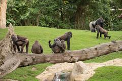 2014-09-19-11h20m53.BL7R7942 (A.J. Haverkamp) Tags: germany zoo gorilla hannover dierentuin westelijkelaaglandgorilla canonef100400mmf4556lisusmlens httpwwwzoohannoverde
