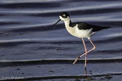 Black-necked Stilt (Bob Gunderson) Tags: california birds northerncalifornia blackneckedstilt himantopusmexicanus southbay shorebirds santaclaracounty shorelinelake