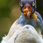 King vulture looking straight to me thumbnail