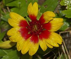 Gaillardia (G.Sartori.510) Tags: gaillardia asteraceae pentaxk5 pentaxkasmcmacrozoom35105mmf35