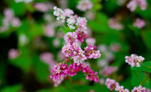 Ảnh 4 - Vòng đời của hoa tam giác mạch hơn 1 tháng
