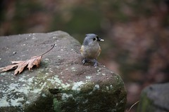 IMG_3352 - Version 2 (Fairywebmother) Tags: trees bird fall nature leaves forest tuftedtitmouse