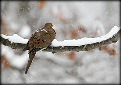 Mourning Dove (Doris Burfind) Tags: winter snow tree bird nature branch pigeon dove wildlife feathers mourningdove