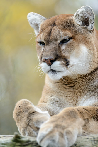 Cougar Looking Serious by Eric Kilby, on Flickr