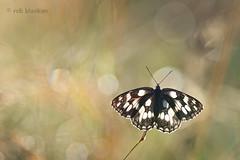 Bokeh!! (Rob Blanken) Tags: macro butterfly bokeh slovenia marbledwhite dambordje nikond800 sigma180mm128apomacrodghsm melanarchiagalathea