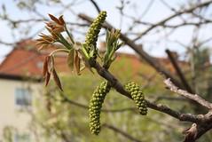 Juglans regia, Walnuss, Blten m (julia_HalleFotoFan) Tags: ktzchen walnuss juglans juglansregia maleflower mnnlicheblten