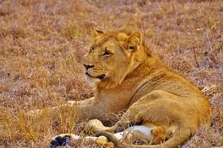 Young male lion (Sabi Sands) - Notten's Bush Camp
