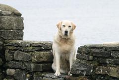 DLB0143 (artzubi) Tags: ireland sea dogs landscape report eire irlanda txakurrak itsasoa paisaia cosligo templeboy erreportajea