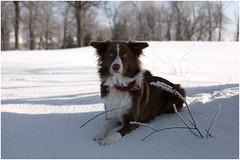 Best friend! (SergeK ) Tags: winter dog chien brown white outside collie bc hiver border whisky bordercollie extérieur brun sergek