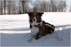Best friend! (SergeK ) Tags: winter dog chien brown white outside collie bc hiver border whisky bordercollie extrieur brun sergek