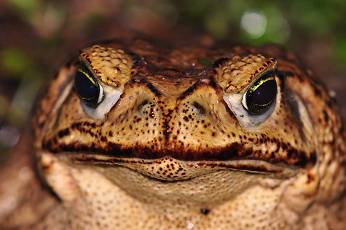 "Marine or Cane Toad • <a style=""font-size:0.8em;"" href=""http://www.flickr.com/photos/129121132@N08/15948590471/"" target=""_blank"">View on Flickr</a>"