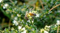 DSC02436 (Marcosracf) Tags: brazil brasil do sony bee abelha pico alpha campos jordo itapeva ilce3000