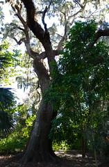 Leaning Tree (stocktoc) Tags: shadow tree florida sony leaning leugardens rx100