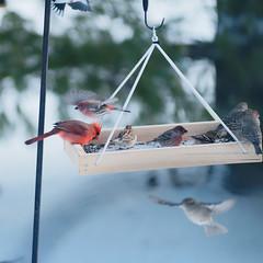 Birds at the New Platform Feeder (joeldinda) Tags: birds raw cardinal platform feeder finch sparrow frontyard d300 318365