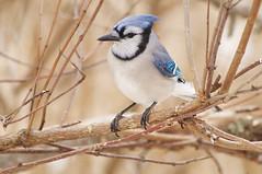 Blue Jay in Winter Marsh (Adam Turow) Tags: winter portrait bird nature closeup wildlife january nj bluejay swamp marsh wetland winterbirds greatswampnationalwildliferefuge greatswampnwr thegreatswamp njbirds njwildlife wildnj usnationalwildliferefuges