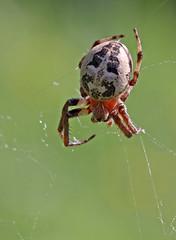 Larinioides cornutus (4) (saracenovero) Tags: spiders spinnen 2014 araneae araneidae mazeikiai larinioidescornutus spidersoflithuania