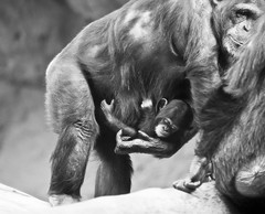 Loro Parque (mrs_fedorchuk) Tags: christmas family parque vacation blackandwhite bw nature canon island zoo monkey photo spain december honeymoon canarias tenerife monkeys puertodelacruz christmastime loro loroparque babymonkey littlemonkey iloveanimals santacruztenerife mothermonkey shimpanse puertodelacruztenerife spanishisland vacation2014 december2014 tenerife2014 honeymoon2014