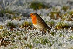 Robin in the Frost (Martin F Hughes) Tags: uk southwest slr nature robin birds canon eos frost martin birding explore exeter birders hughes avian twitcher 500d 100400 martinhughes