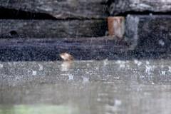 Raindrops (Dan's Daily Photo) Tags: wet rain bucket splash rainfall raindrop precipitation pitterpatter dansdailyphoto