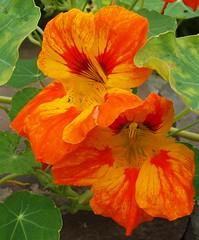Nasturtium Tropaeolum majus multicoloured (brigitte.watz) Tags: flowers oslo norway tropaeolum edible blomster nasturtium majus blomkarse dekorasjoner spiselig sommerblomst blomsterbed ettrig