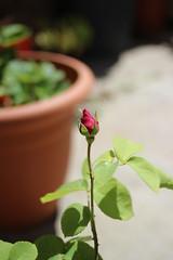 Capullo de rosa roja (maikrofunky) Tags: red hoja primavera rose 35mm hojas spring bokeh rosa capullo roja espinas brote notreatment noefect floracin 35mm20