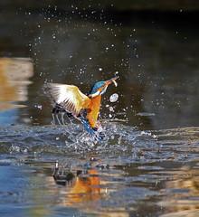 Martín pescador (vic_206) Tags: fish pez bird water fishing agua ave kingfisher pajaro pescando alcedoatthis cubelles martinpescador salpicadura freephotos canon400f56l canoneos7d