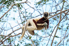 Lounging Lemur.