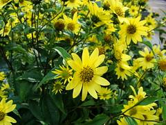 New York, NY (diegogazolli) Tags: flowers daisy rockfellerplaza