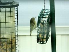 Kinglet (Corgibird) Tags: birds wildbirds goldencrownkinglet
