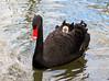IMG_1954 baby on board (pinktigger) Tags: italy baby bird nature water swan pond italia cygnet blackswan friuli fagagna oasideiquadris australianswan feagne