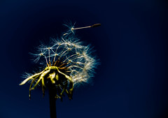 18/52 - Don't Go by Josh Kumra (susivinh) Tags: music leave ir go seed dandelion msica latch dientedelen semilla 52weeks irse joshkumra