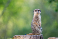 Watching the sun go down (The Wasp Factory) Tags: meerkat tierpark suricate suricatasuricatta erdmnnchen wildpark sababurg wildlifepark tierparksababurg