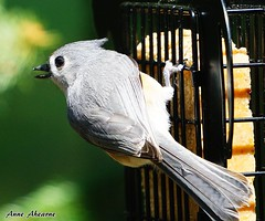 Tufted Titmouse (--Anne--) Tags: nature birds wildlife feeder titmouse tufted suet