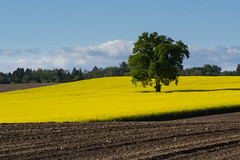 Lone tree (bertrandwaridel) Tags: tree switzerland spring suisse may fields lonetree vaud colza 2016 echallens villarsleterroir colzafields
