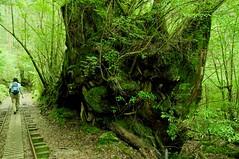 Yakushima #7 (k_t) Tags: green forest cedar yakushima mossy yaku