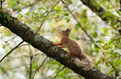 Ma tahaksin kodus olla, kui õunapuud õitsevad.../ Perfect living environment (Olavi Hiiemäe) Tags: red squirrel vulgaris orav sciurus õunapuu õitsev