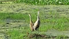 Announcing the birth! Sandhill Cranes (Photos by the Swamper) Tags: cranes sandhillcranes wadingbirds