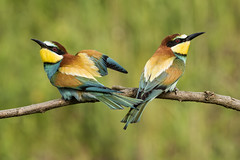 Bee-eater (Bill Richmond) Tags: nikon hungary european beeeater meropsapiaster passerine meropidae