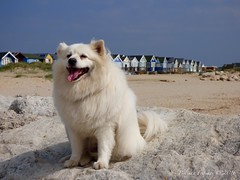 Dog Friendly (Belinda Fewings (3 million views. Thank You)) Tags: street city christchurch dog pet white colour cute beach beautiful beauty smile animal out outside outdoors seaside arty artistic bokeh creative may canine cutie best depthoffield dorset laugh friendly beaches colourful lovely bestfriend beachhuts zippo eski americaneskimodog americaneskimo rescuedog beautify mudefordspit canniness panasoniclumixdmc mudefordspitbeach pbwa creativeartphotograhy belindafewings