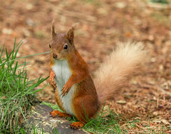 Red Squirrel (Geoff Threadgill) Tags: coth fantasticnature ngc coth5