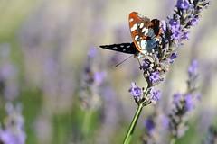 Papillon et lavande, 2 (Patrick.Raymond (2M views)) Tags: macro nikon papillon lavande insecte expressyourself