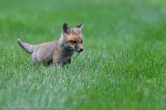 Grass - yum! (dbifulco) Tags: nature animals yard backyard wildlife kits redfox